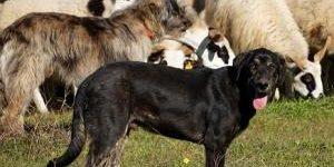 Hunde beim Schafe hüten