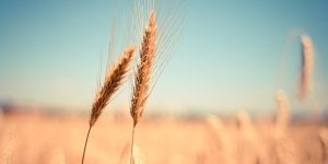 Getreide-Aehre